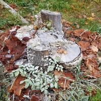 Dużo grzybów na cmentarzu