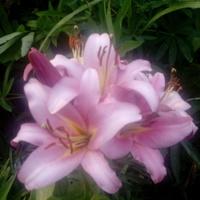 Dzisiaj wspominamy lilie...