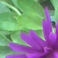 Fiolet jesienny