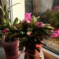 Grudnik różowy