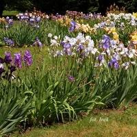 Irysy w ogrodzie botanicznym.