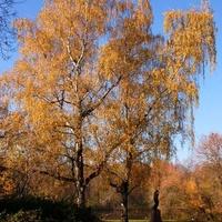 Jesienna brzoza