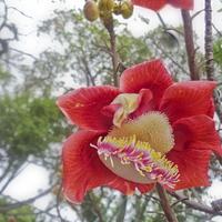 Kwiat Czerpni Gujańskiej