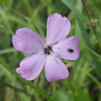 kwiatki łąkowe