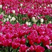 Najpiękniejsze tulipany spotkałem na skwerku