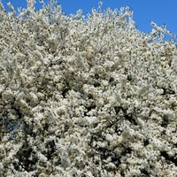 Najwięcej kwiatów na drzewie