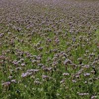 Największe pole kwitnących roślin