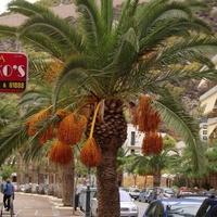 Palma daktylowa w Grecji.