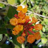 pomarańczowa lantana