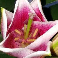 Rozkwita mi lilia pachnąca
