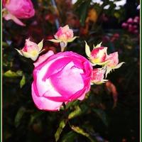 Różyczka na powitanie