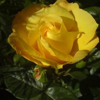 Słoneczna róża...