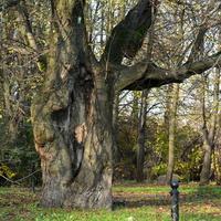 Staruszek, pomnik przyrody