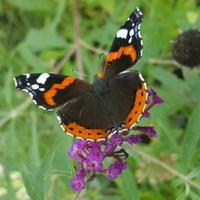 Wspomnienie mojej budleii i motylków