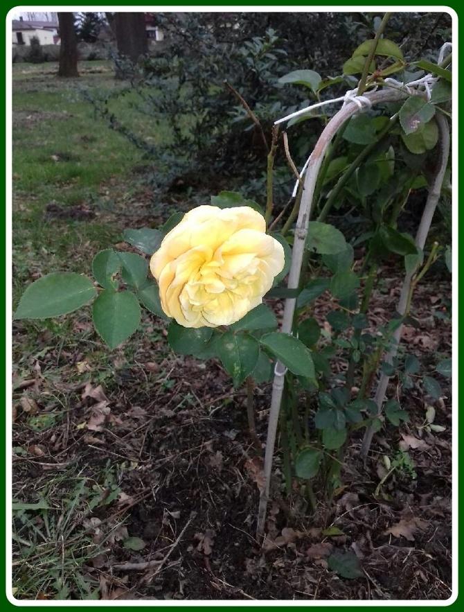 Różyczka ....