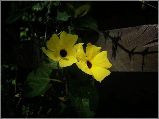 Słoneczna tunbergia...