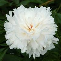 Biały kwiat, delikatny jak opłatek.