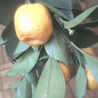 Kalamondyna owoce już dobre do jedzenia.