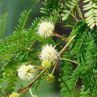 Mimoza. Leucaena leucocephala.