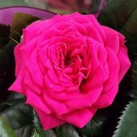 Pani Róża ....