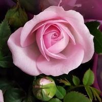 Pani róża w sklepie
