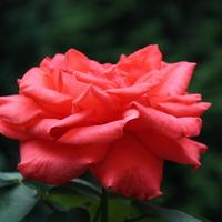 Róża wielkokwiatowa :)
