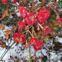 róże w śniegu