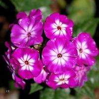 Letni kwiat, floks wiechowaty