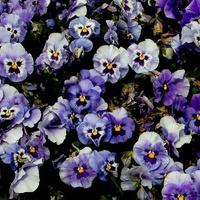 Nasze kwiatki bratki
