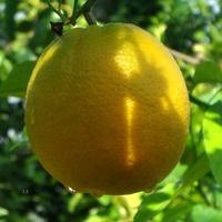 Pomarańcza chińska, smacznego