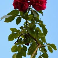 Powichrowana róża