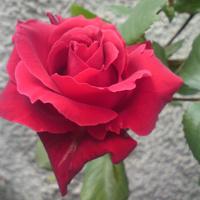 Różyczka na miły wieczór:)