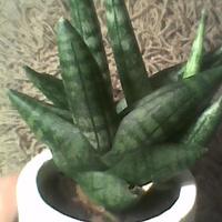 Sansevieria boncellensis