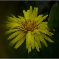 Skorzonera kwitnąca...