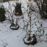 Śnieg w moim ogródku