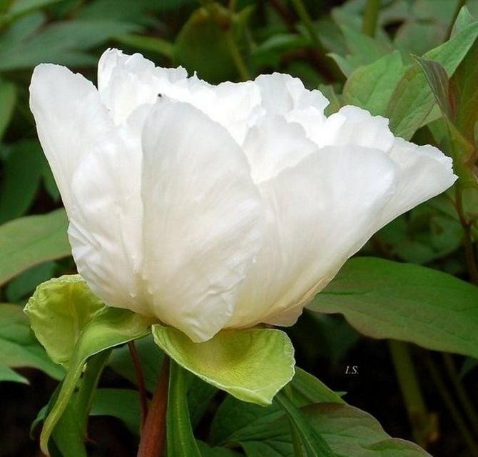 Biały kwiat zamiast śniegu