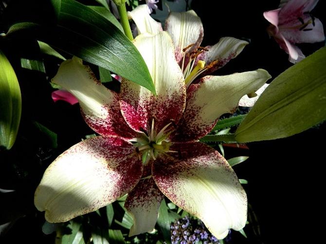 Dziś dzień lilii?:)