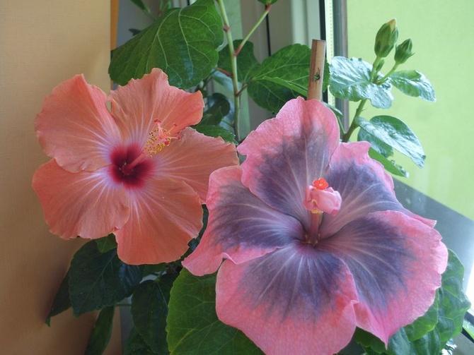 Kolorowe hibiskusy