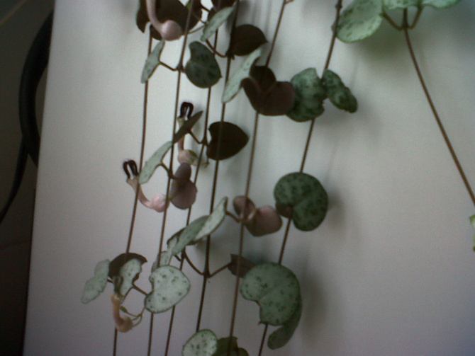 String of hearts.