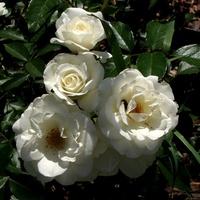 Białe róże zamiast śniegu