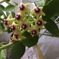 Hoja densifolia.