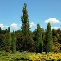 Iglaki w Ogrodzie Botanicznym