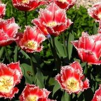 Ostre tulipany