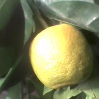 Owoc kalamondyny