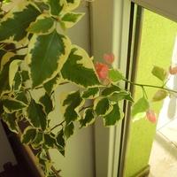 Pierwsze kwiaty  Bugenvilli .