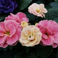 Prymula - dwa kolory
