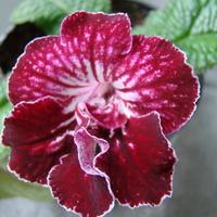 Streptocarpus Tango