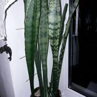 Wężownica - Sansevieria trifasciata