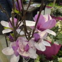 Zakwitły magnolie...