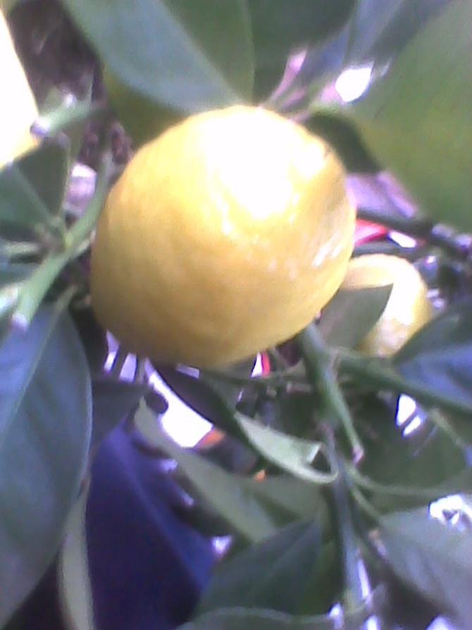 Cytryna już prawie dobra do zjedzenia